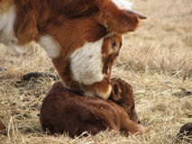 Smelling the Newborn Calf. Head shot of a horned steer smelling a newborn calf on prairie grass Royalty Free Stock Image