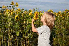 Smelling sunflower Stock Image