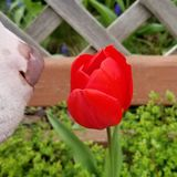 Smelling a Tulip royalty free stock image