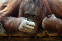 This Smells Funny. Closeup of a Orangutan smelling his hand with a funny expression on his face Royalty Free Stock Image