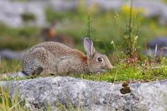 Smells good. Rabbit on Grassingtons limestone pavement Royalty Free Stock Images