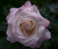 Smells Just As Sweet. A pink rose laden with raindrops, shortly after a spring shower. The rain adds an interesting detail element to the photo as well as the Royalty Free Stock Photo