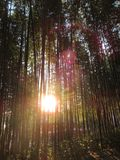 Smells of winter in  Bamboo Forest Royalty Free Stock Photos