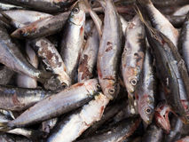 Smelly anchovies fish Royalty Free Stock Images