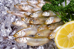 Smelt Stock Photography