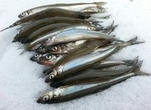 Smelt. Caught ice fishing Royalty Free Stock Photography