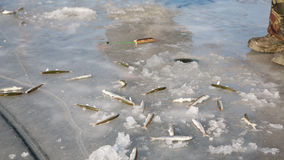 Smelt is caught on the ice river, Russia. Royalty Free Stock Photo