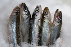 Smelt (fish) Stock Photos