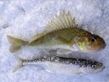 Smelt fish catching in Russia 3. Winter catching  on Baltic sea Royalty Free Stock Photos
