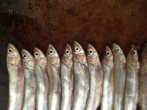 Smelt fish with copy space Stock Photography
