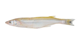 Smelt fish isolated Royalty Free Stock Images