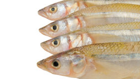 Smelt fish isolated Stock Photos