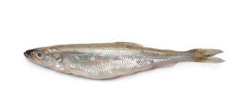Smelt fish. Isolated on white background Stock Image