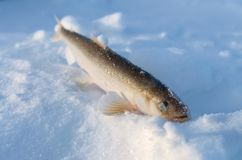 Smelt fish lying in the snow. Royalty Free Stock Photo