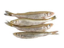 Smelt Fish (Osmerus Eperlanus) Royalty Free Stock Photos