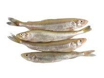 Smelt Fish (Osmerus Eperlanus). European Smelt Fish (Esmerus Eperlanus) isolated on white background with clipping path Royalty Free Stock Photos