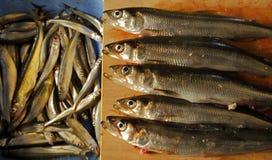 Smelt Ice Fishing Fresh Uncooked Stock Images