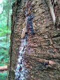 Smereka bark resin. Flowing from a cut white resin on the bark of pine tree Royalty Free Stock Images