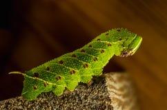 Smerinthus caecus caterpillar crawling on piece of wood. Close up Royalty Free Stock Photos