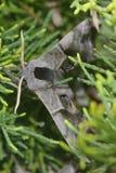 Smerinthus ocellatus Stock Images
