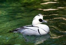 Smew Foto de Stock Royalty Free