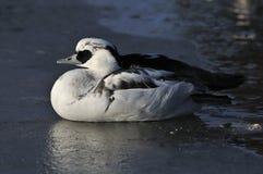 Smew. Mergus albellus, male sitting on ice Stock Photos