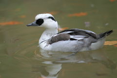 Smew. The adult smew male in water Stock Photo