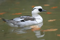 Smew. The adult male smew floating in water Stock Photo