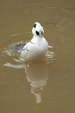 Smew Royalty Free Stock Photos