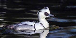 Smew duck, mergellus albellus. Male smew duck, mergellus albellus, floating on the water Stock Image