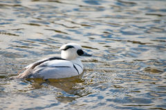 Smew duck Royalty Free Stock Image