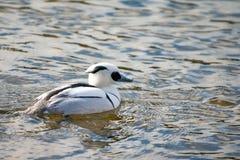 Smew duck. Smew, Mergellus albellus, swimming in lake Royalty Free Stock Image