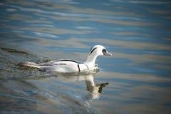 Smew duck Stock Image