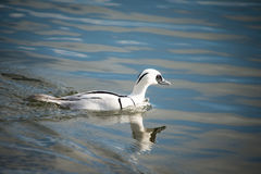 Smew duck. Smew, Mergellus albellus, swimming in lake Stock Image