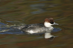 Smew Duck Stock Photo