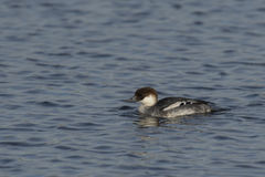 Smew Royalty Free Stock Photography