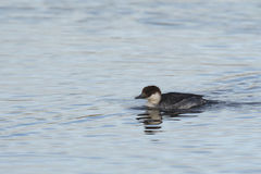 Smew Royalty Free Stock Images