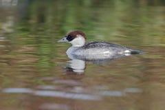 Smew, Mergellus albellus. Single male on water, Gloucestershire, November 2014 Stock Images