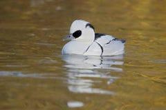 Smew, Mergellus albellus. Single male on water, Gloucestershire, November 2014 Royalty Free Stock Images