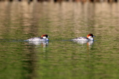 Smew Stock Images