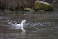 Smew & x28;Mergus albellus& x29; on a frozen pond. Male Smew & x28;Mergus albellus& x29; on a frozen pond in Winter Stock Photo
