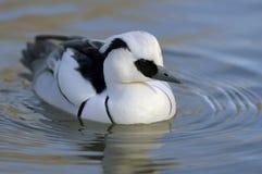 Smew. Mergus albellus, male duck Royalty Free Stock Photos