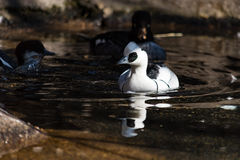 Smew in Pond Stock Images