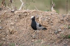 Smid Lapwing of Plevier - Vanellus-armatus royalty-vrije stock foto's