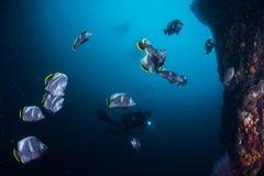 SmidesjärnButterflyfish Arkivfoton