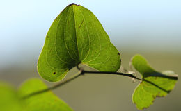 smilax Photo stock
