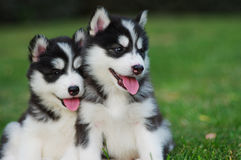 Smile. Two husky puppies on grass ground Stock Image