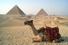 Smile :). Camel is laughing while resting from tourists Stock Photo