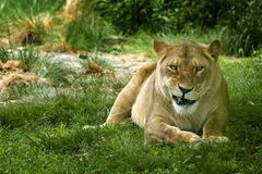 Smile. Female lion in the Bronx zoo - smiling stock photos