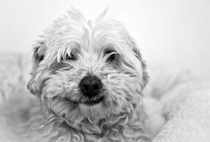 Smile. Dog smiling on a white background Royalty Free Stock Photos